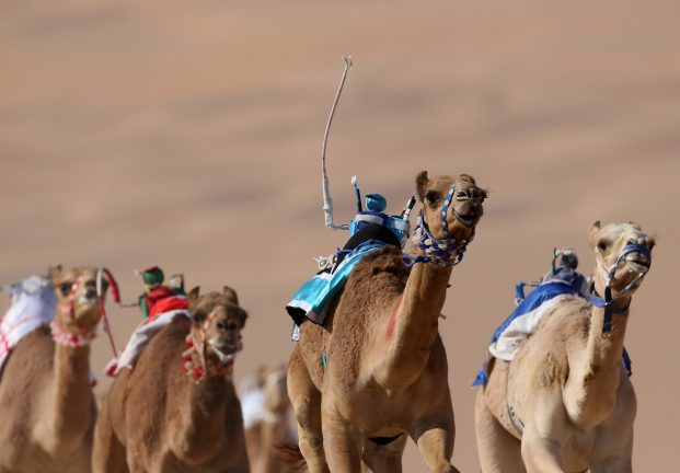 ABU DHABI, UNITED ARAB EMIRATES - JANUARY 03:  A camel is whipped by a robotic jockey during the Liwa Sports Festival at Moreeb Dune on January 3, 2017 in Abu Dhabi, United Arab Emirates.  (Photo by Francois Nel/Getty Images)