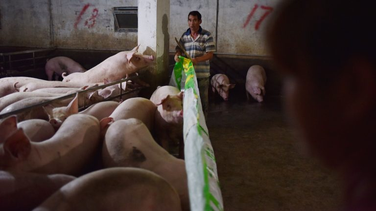 This photo taken on August 10, 2018 shows workers moving pigs out of a pen at a pig farm in Yiyang county, in China's central Henan province. - The powdery yellow mixture of soybean-based feed for pigs -- one-fifth soy -- has become pricier as the trade spat between China and the US escalates, with Beijing slamming US soybean imports with tariffs of 25 percent last month. (Photo by GREG BAKER / AFP) / TO GO WITH China-US-trade-pork, FOCUS by Becky DAVIS